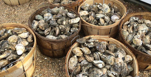 Oysters.original.png